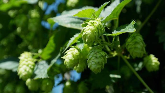 Non-Alcoholic Fatty Liver Disease May Be Treatable with Hops Compounds