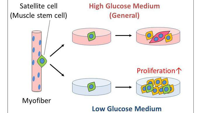 Less Sugar, Please! New Studies Show Low Glucose Levels Might Assist Muscle Repair