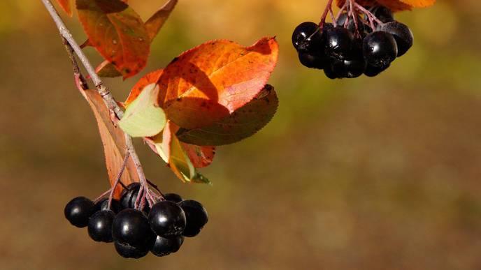Acidic pH Enhances Butyrate Production from Pectin by Faecal Microbiota