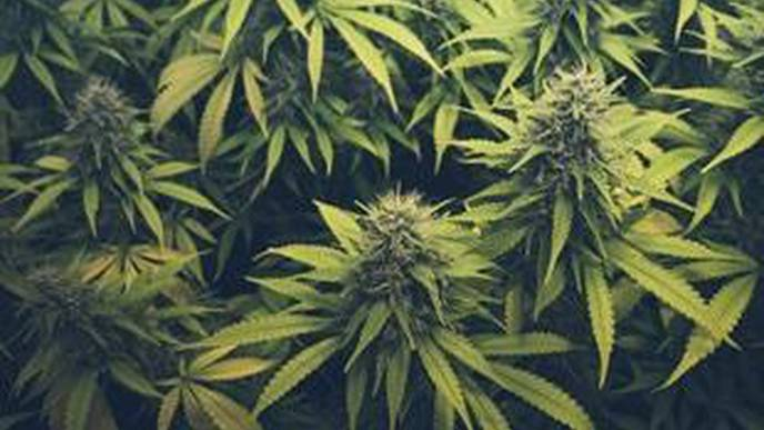 Regular Cannabis Use Does Not Appear to Increase Pain Sensitivity, Study Suggests