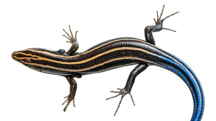 Lizards May Be Protecting People from Lyme Disease in the Southeastern United States